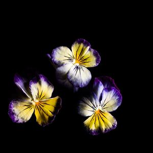 Viola-Lemon-swirls_300x300